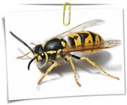 گالری عکس زنبور ها