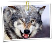 گالری عکس گرگ ها