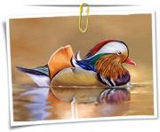 گالری عکس پرنده اردک