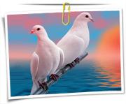 گالری عکس کبوتر ها