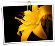 گالری عکس گلهای سوسن