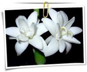گالری عکس گلهای مریم
