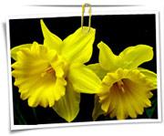 گالری عکس گلهای نرگس