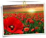 گالری عکس گلهای شقایق