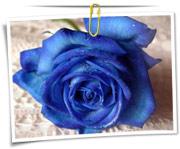 گالری عکس گلهای رز