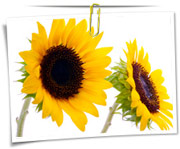 گالری عکس گلهای آفتابگردان