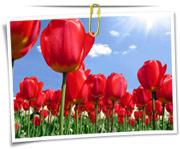 گالری عکس گلهای لاله