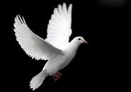 عکس کبوتر ها