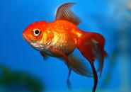 عکس های ماهی قرمز