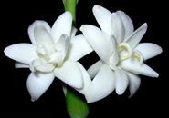 عکس گل های مریم