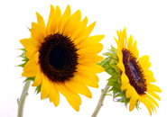 عکس گل های آفتاب گردان