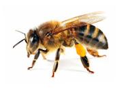 عکس زنبور ها